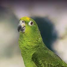 Buy Amazon Parrots USA