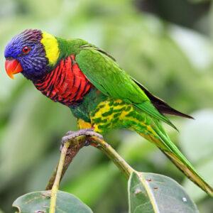 Lorikeets Birds USA