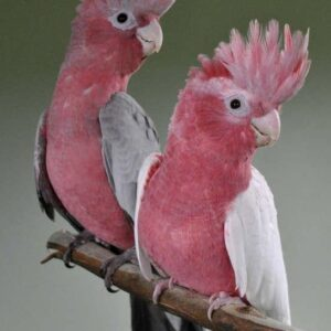 Buy Rose Breasted Cockatoo.