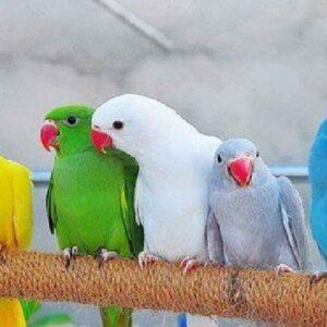 Buy Ringneck Parakeets Parrots USA