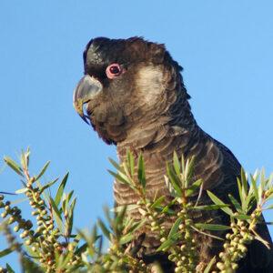 Baudin's Black Cockatoo