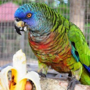 Bailey – Saint Lucia amazon